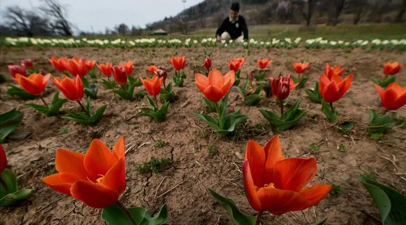 Kashmir opens asia's largest tulip garden