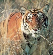 India tiger killings: Hunt on after seventh victim found